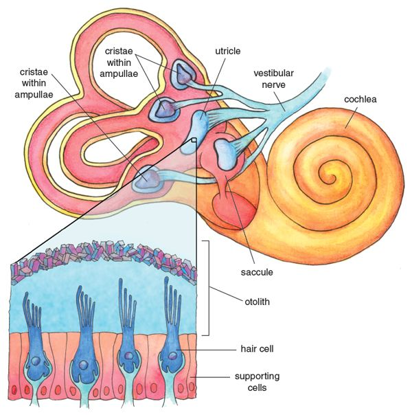 Most of the sounds we humans hear are detected by the cochlea, a relatively new development in evolutionary terms. Nevertheless, the otolith organs inherited from our pre-mammalian ancestors may continue to play a role in human hearing, as well as balance, particularly for sensing vibration and rhythm. Illustration by Emma Skurnick.  #hearing #human #ears #science #biology #evolution