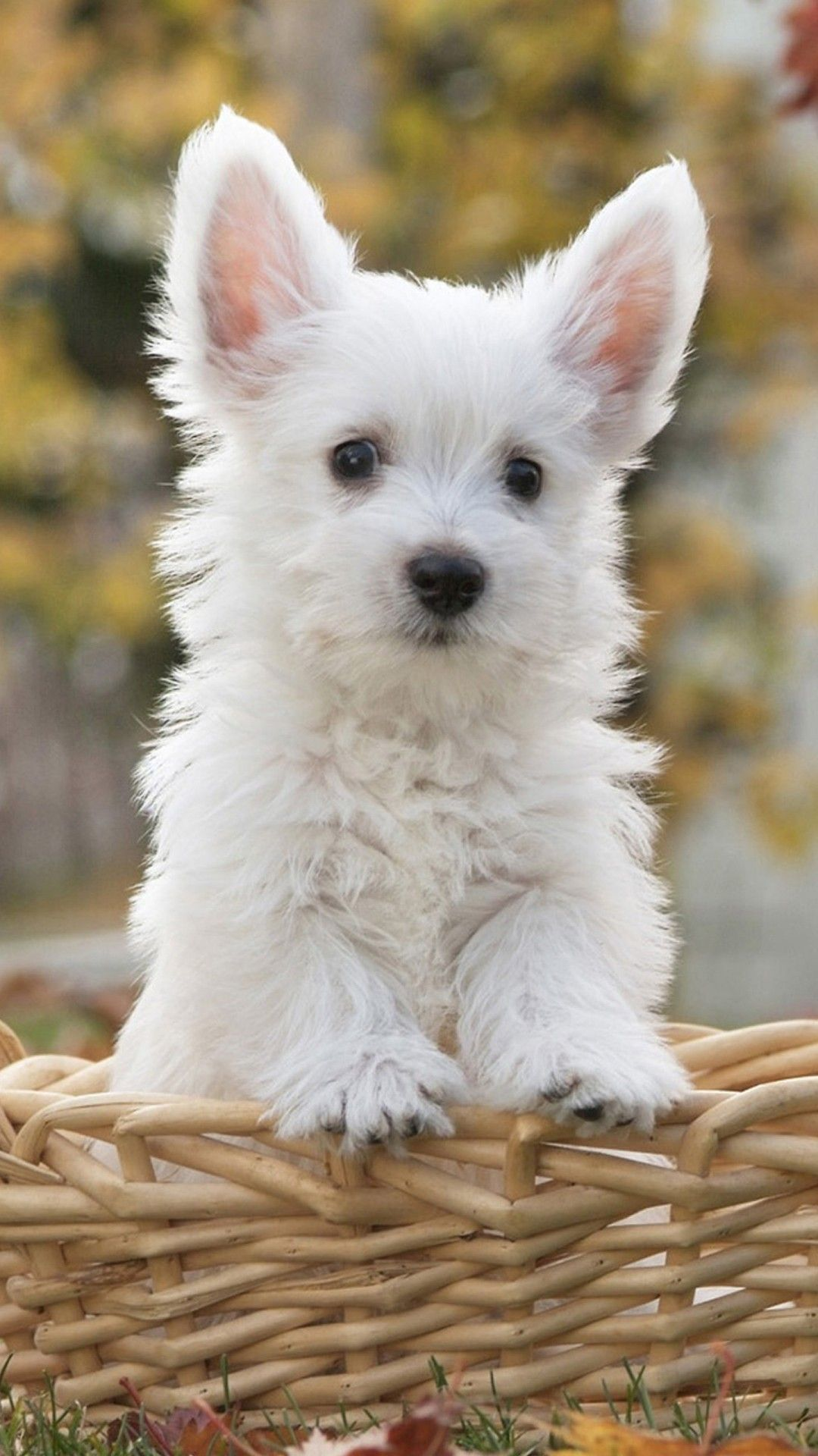 Pin By Sabjoe On Dogs Cute White Dogs Cute Dog Wallpaper Dog Wallpaper