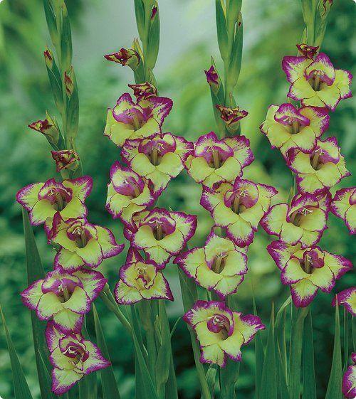 Photo By Vesey S Seed Ltd Gladiolus Laguna Bulb Flowers Gladiolus Amazing Flowers