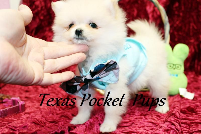 Dallas Tx Teacup Chihuahua Puppies For Sale Dallas Texas Breeder Chihuahua Puppies For Sale Teacup Chihuahua Puppies Chihuahua Puppies