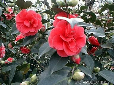 Camellia Bush The Flowers Are About The Size Of My Fist So Pretty Flower Garden Flowers Camellia