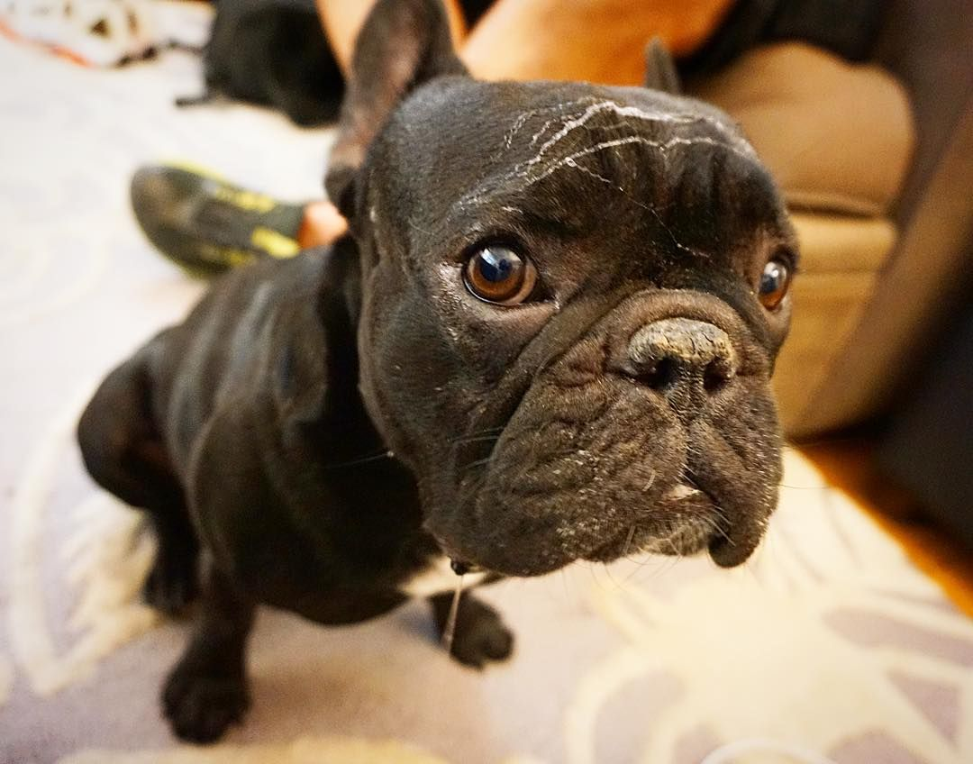 Mom I Got A Cobweb On My Head Sahu The French Bulldog Sahu