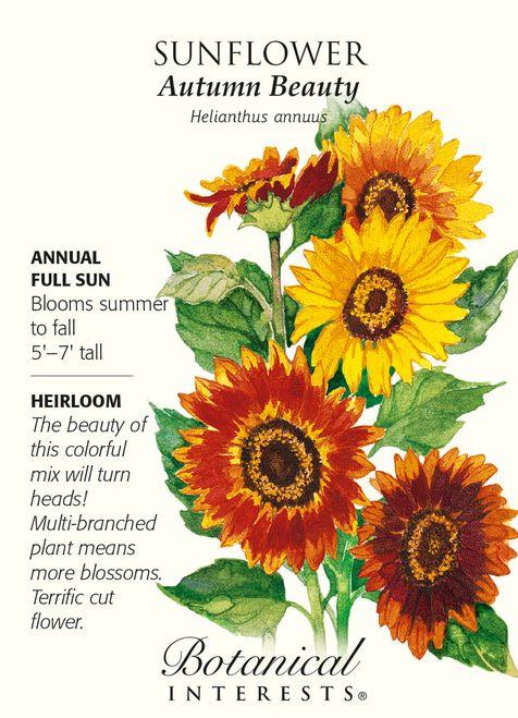 "100 Organic /""Autumn Beauty/"" Mix Sunflower Seeds ~Beautiful variety of colors"