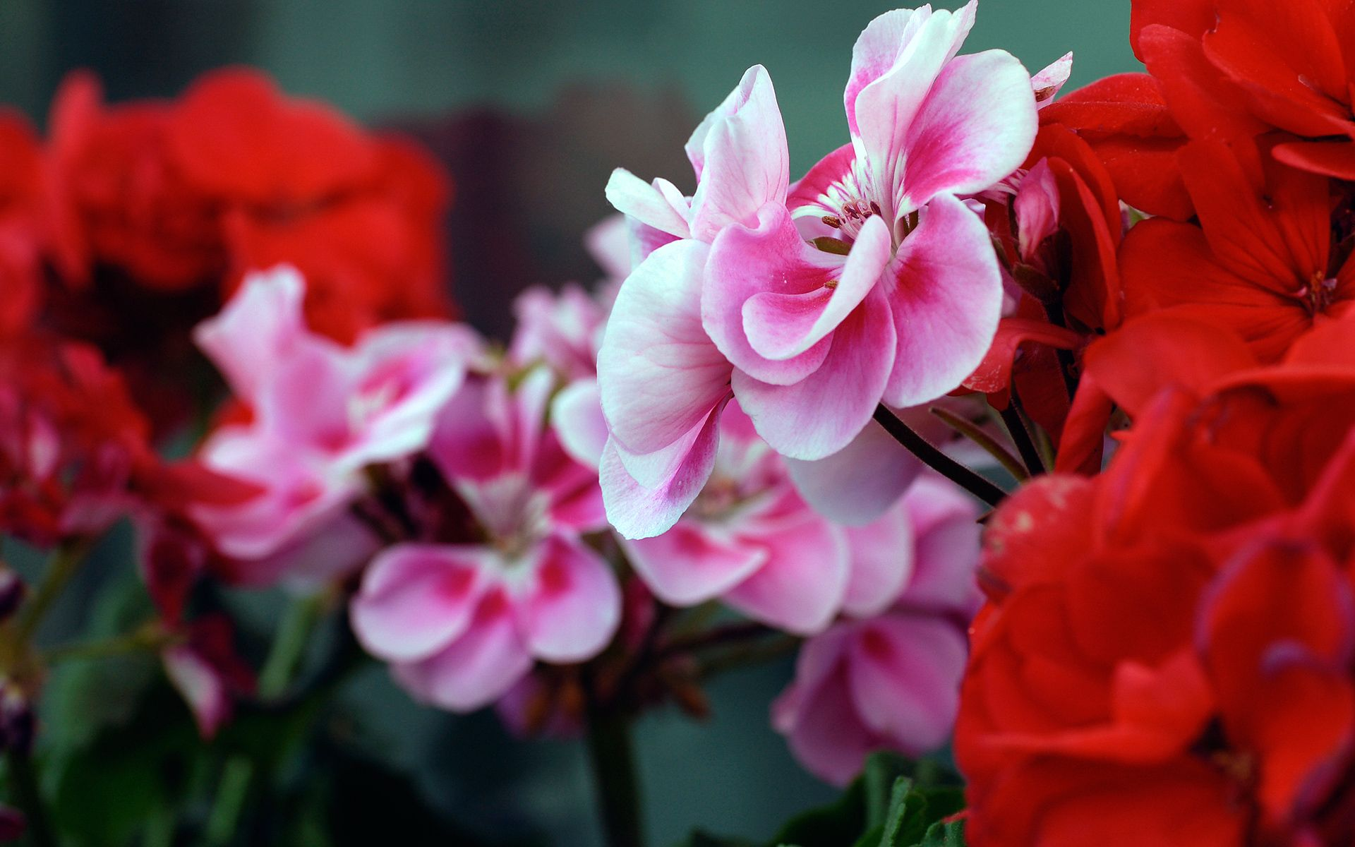 Pictures Of Flowers Pink Red Flowers Wallpapers Hd Wallpapers