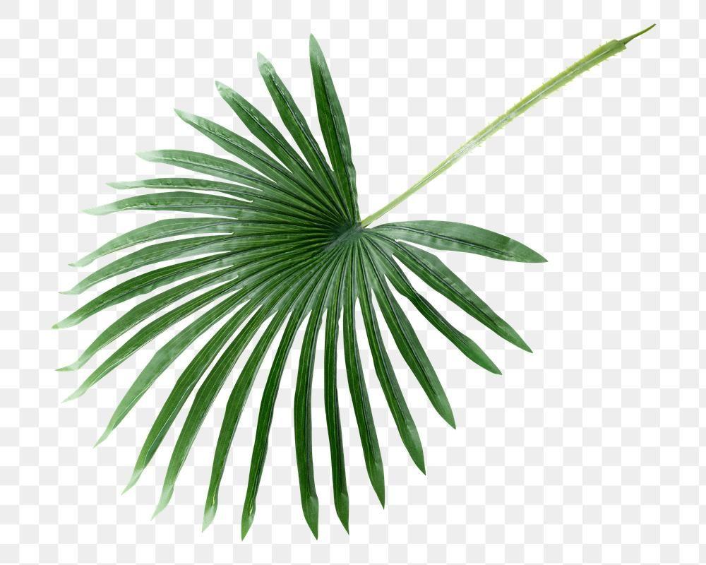 Fresh Green Palm Leaf Design Element Free Image By Rawpixel Com Teddy Rawpixel In 2021 Palm Leaf Art Palm Leaf Design Leaf Illustration