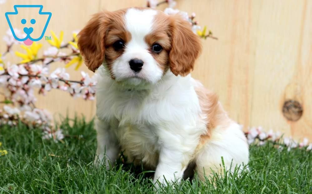 George In 2020 King Charles Cavalier Spaniel Puppy Spaniel Puppies For Sale Cavalier Puppy