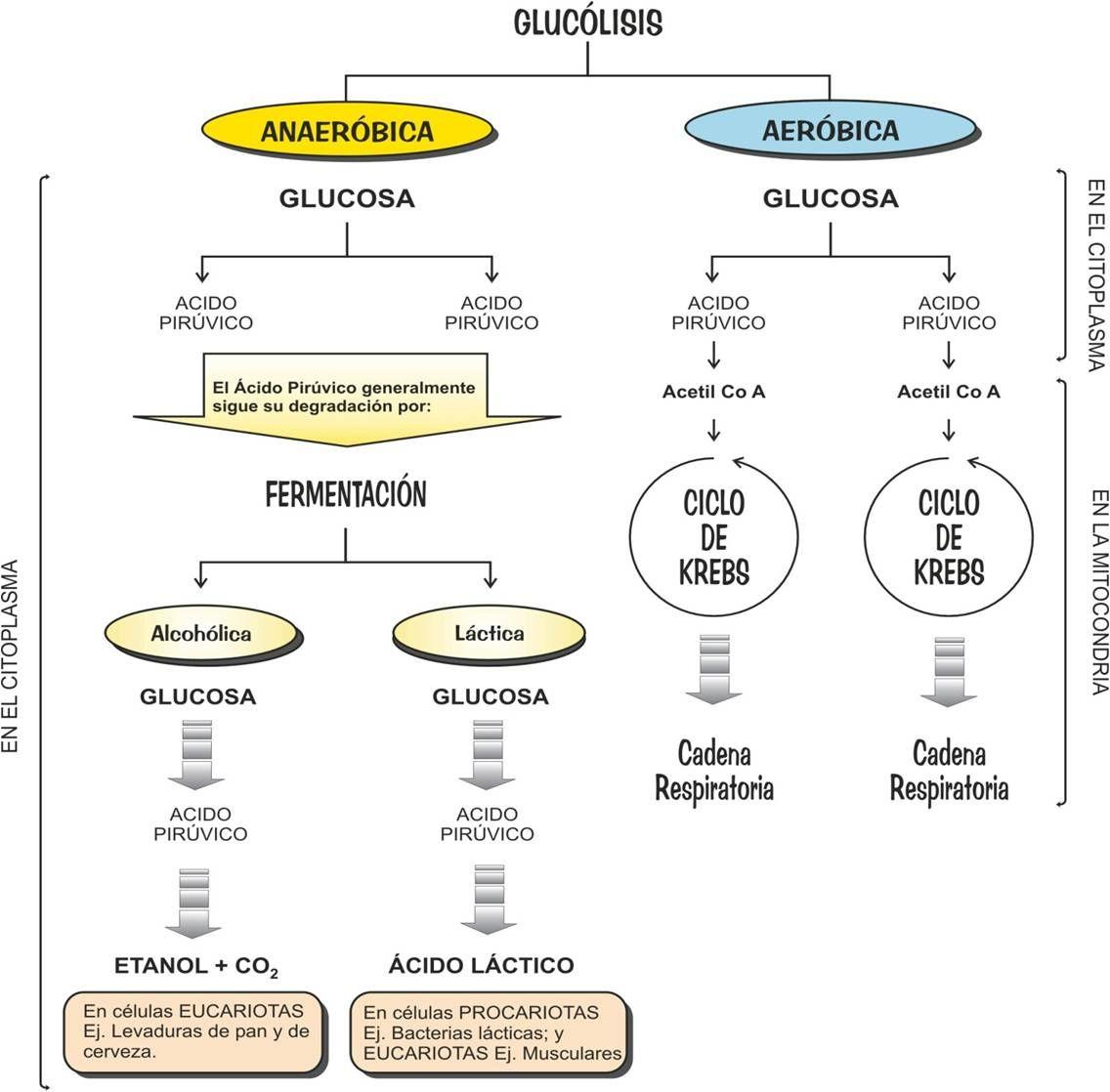 Resultado de imaxes para Regulación glucolisis | Metabolismo ...
