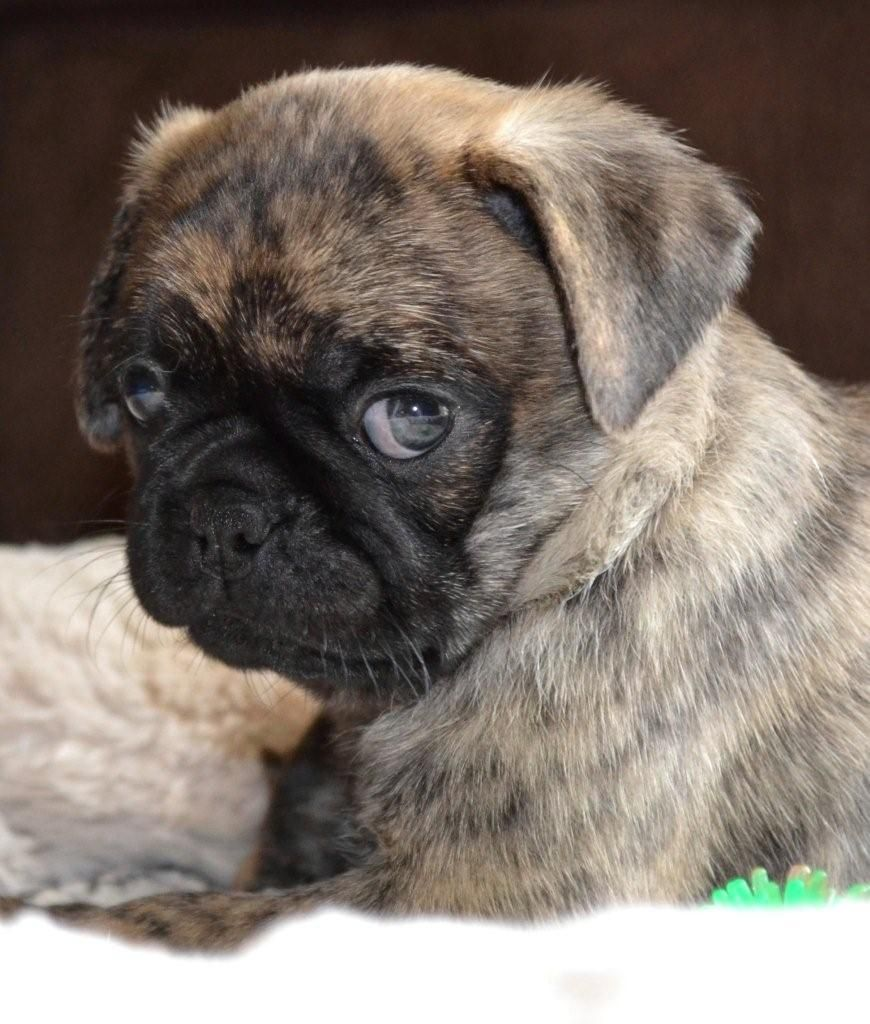 Cute Brindle Pug Puppy Pug Puppies Baby Pugs