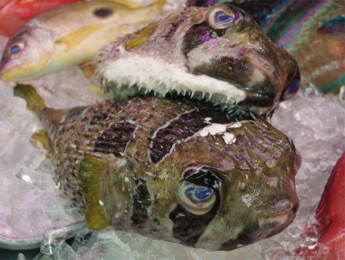 En Japón se quiere poner fin a la prohibición de servir el hígado del pez Fugu - http://paraentretener.com/en-japon-se-quiere-poner-fin-a-la-prohibicion-de-servir-el-higado-del-pez-fugu/