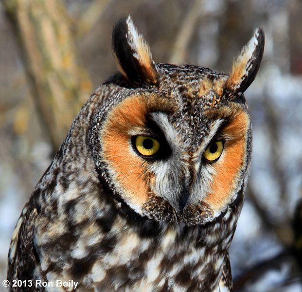 صور البومة صور ومعلومات عن البومة Long Eared Owl Owl Owl Pictures