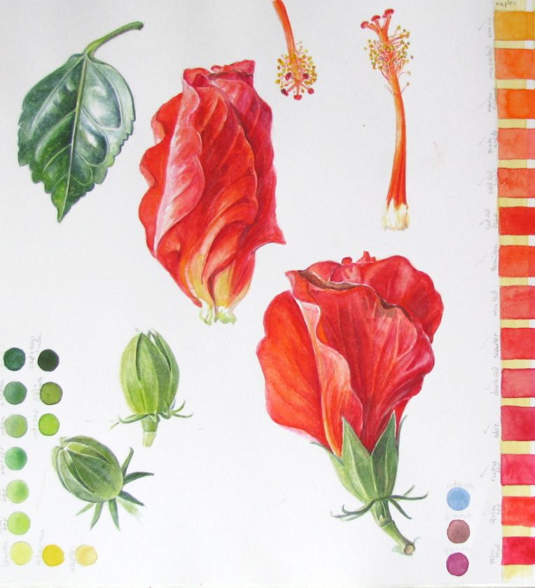 Sketchbook Study Page Of Hibiscus Flowers Buds And Leaf With