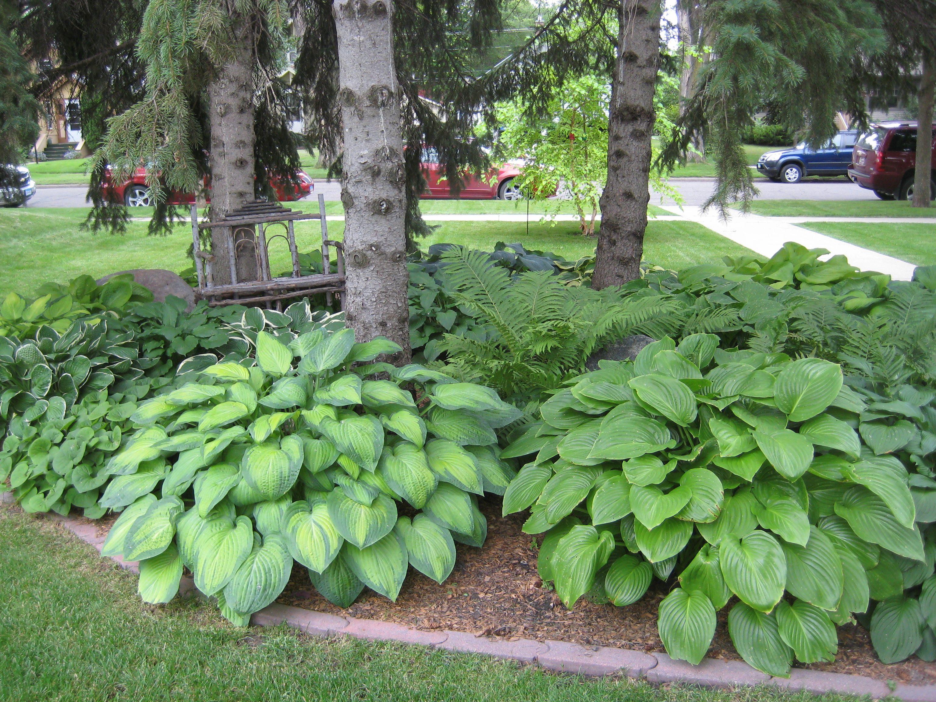 large hostas and ferns under evergreen