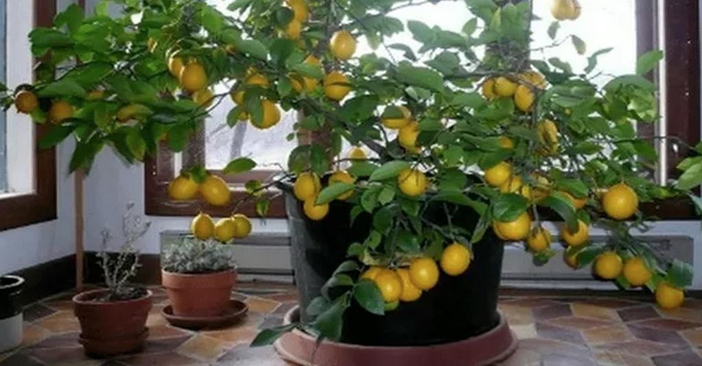Julian Lennon On Twitter Lemon Tree From Seed How To Grow Lemon Plants