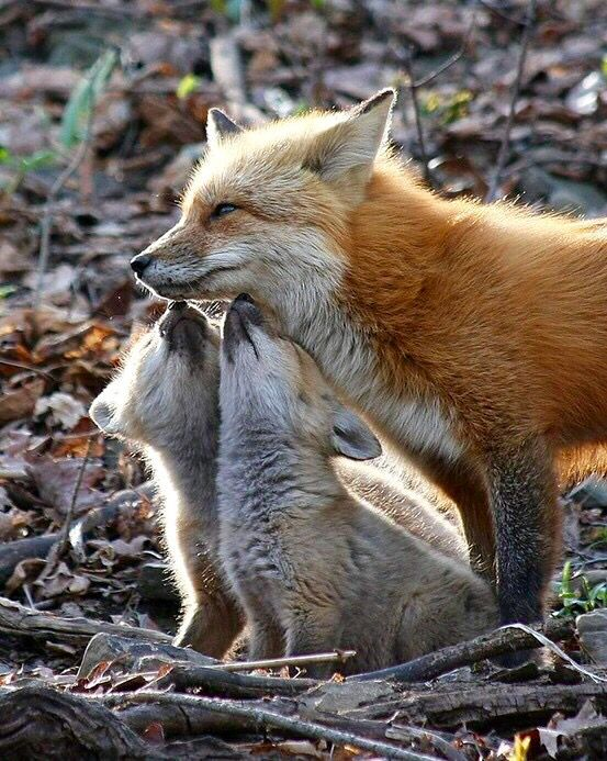 Red Fox with her cubs Animals beautiful, Cute animals
