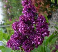 Sweet Garden - Arbuştii ornamentali