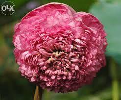 1000 Petal Lotus Kamala Lotus Lily Lotus Pink Lotus Flowers