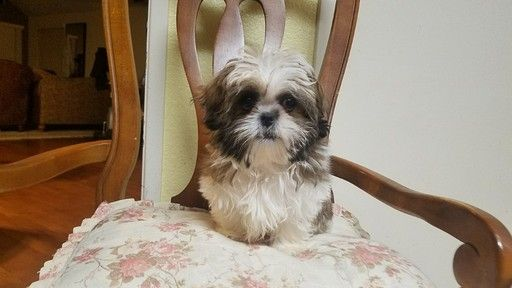 Shih Tzu puppy for sale in LOS ANGELES, CA. ADN63676 on