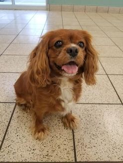 11 4 17 Wausau Wisconsin Cavalier King Charles Spaniel Meet Ruby A For Adoption Https Www Adoptapet Com Pet 19841011 Wausau Wisconsin Cavalier King Char