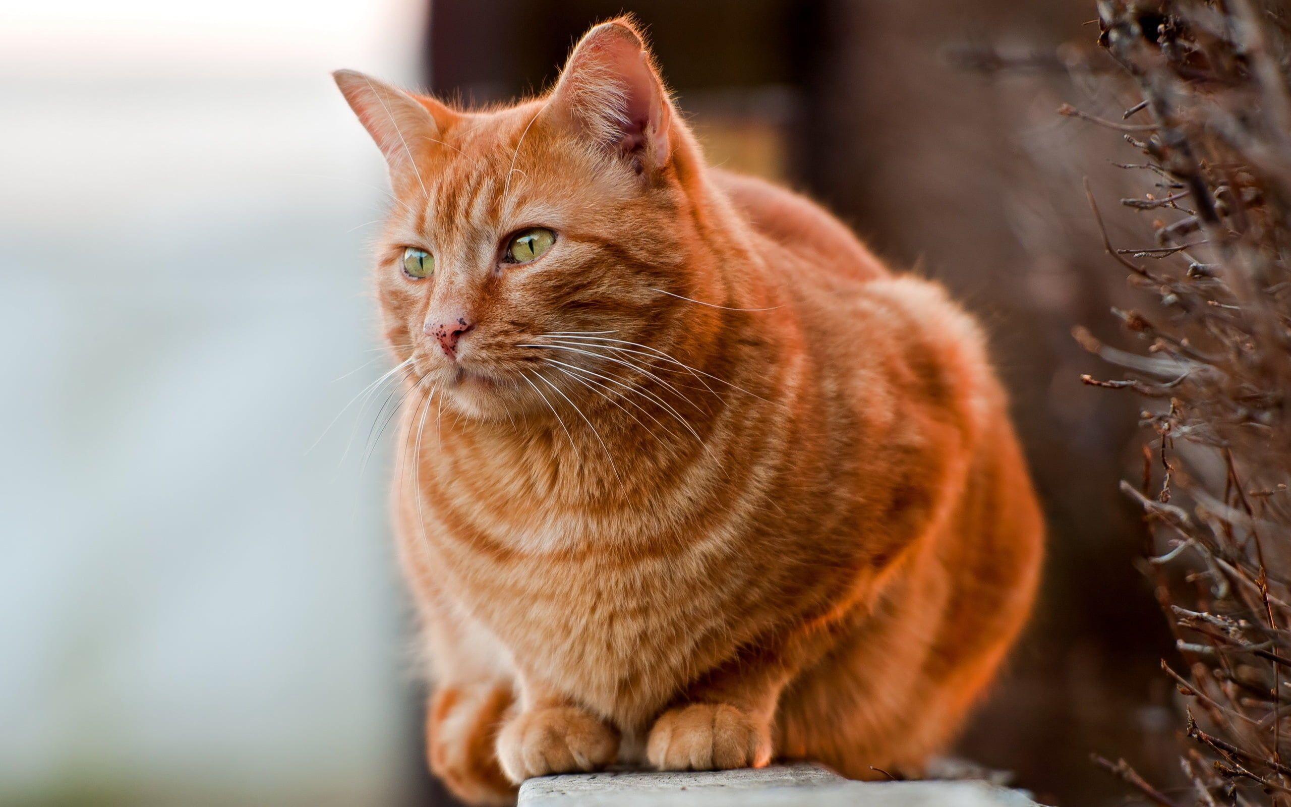 Beth S Son Has An Orange Tabby Cat Like This Orange Cats Orange Tabby Cats Fluffy Cat Breeds