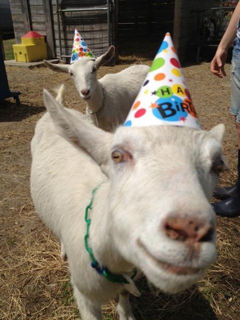 JUST SOME GOATS Happy Birthday Goat, Birthday Love, Birthday Memes, Funny Birthday Posts