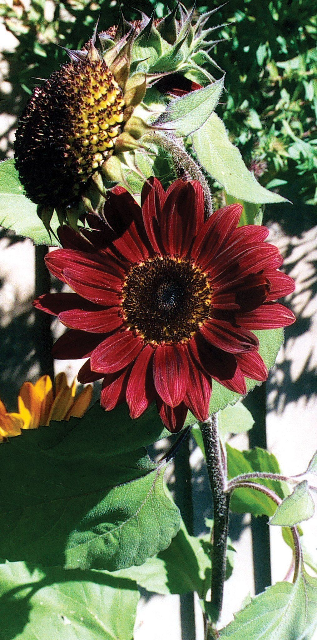 Sunflower moulin rouge Red sunflowers, Sunflower