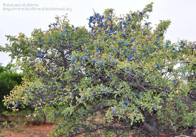 Prunellier prunis spinosa 4 m tres feuillage caduc croissance rapide cet arbuste ou arbre - Haie champetre persistant ...