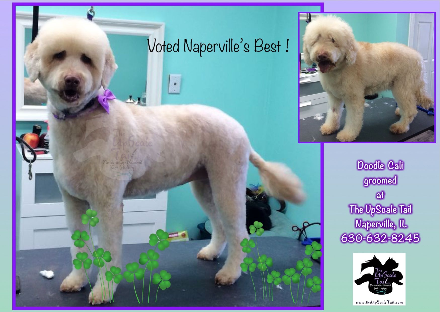Cali the Doodle, groomed at The UpScale Tail, Naperville