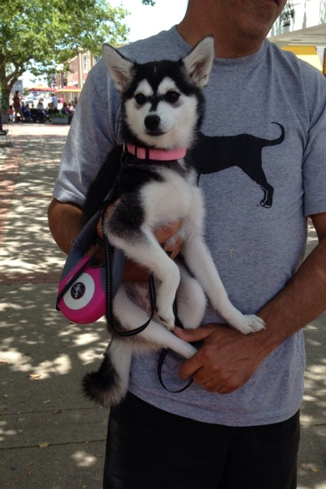 Yeah thats a mini siberian husky... Fully grown. - This ...