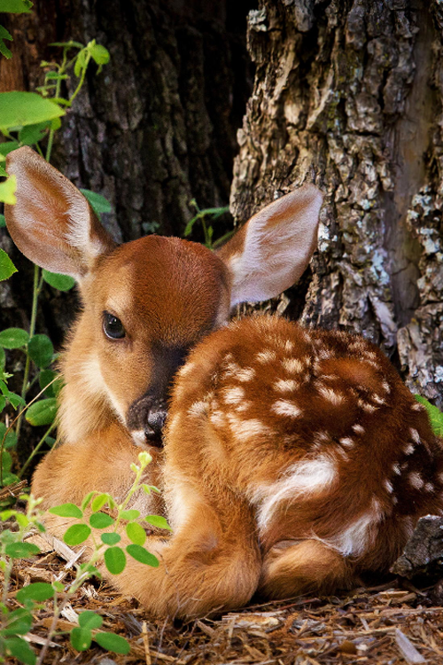 plasmatics-life:  Babe Lost in the Woods ~ By Connie Gifford so sweet! tku!  my favourite and loved little animal <3 tku!