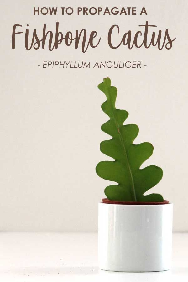 Photo of Fishbone Cactus: How to Grow and Care for an Epiphyllum anguliger Plant