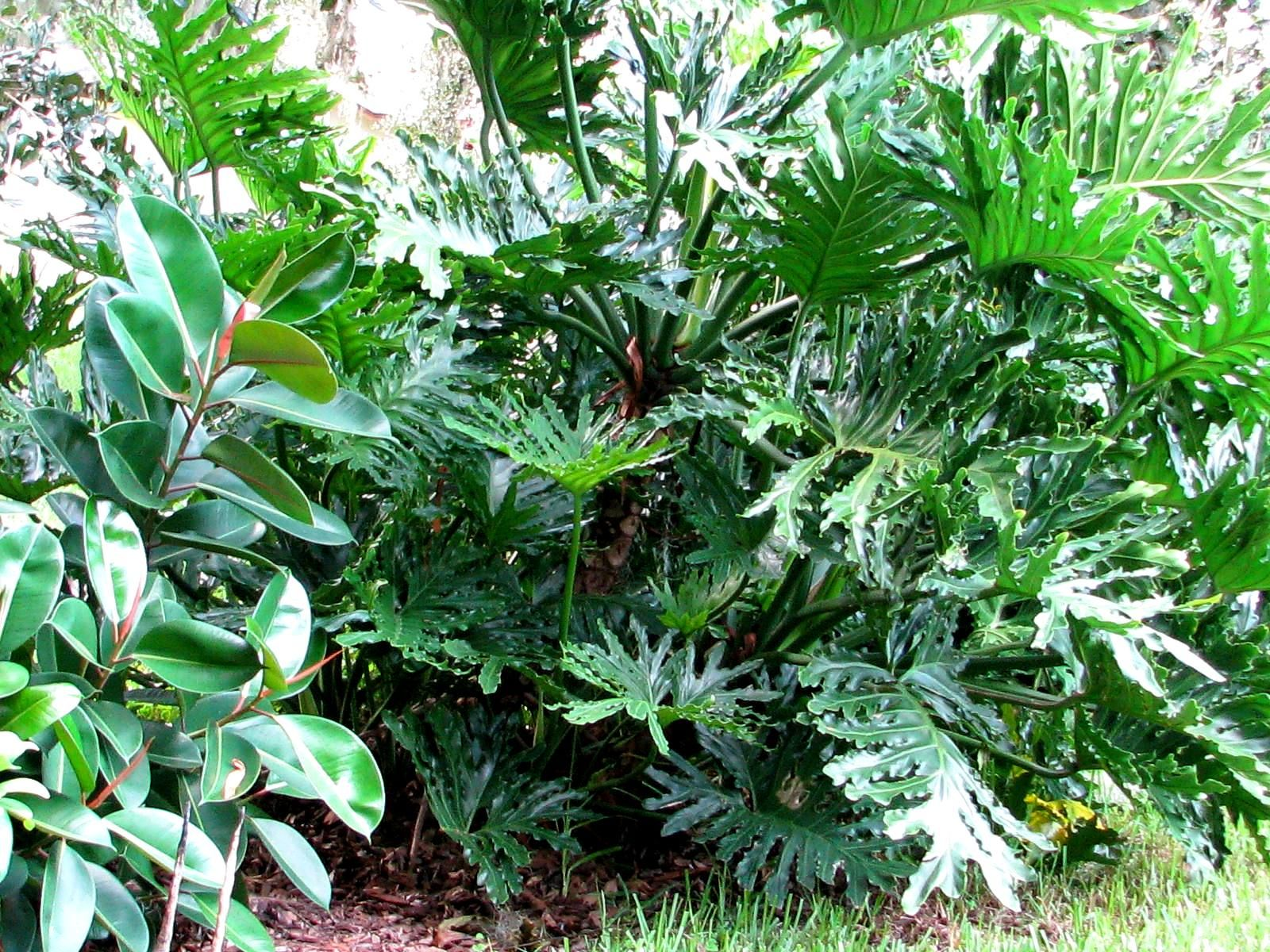 Tropical Shade Plants Google Search Tropical Plants Tropical