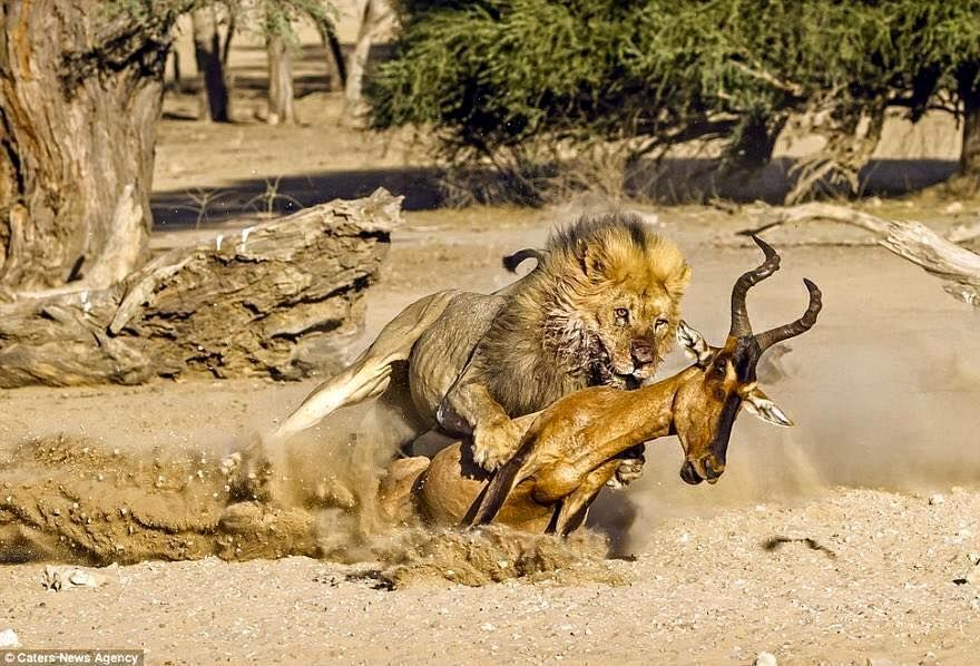 lion and antelope | Lion hunting, Antelope, Wildebeest