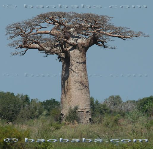 Silk Square Scarf - Ceiba Tree: Riviera Maya by VIDA VIDA Prn92U