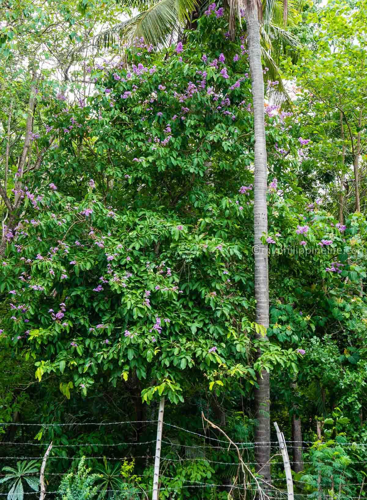 Pink White And Golden Trumpet Trees In Bukidnon The Philippines Version Of Japan S Cherry Blossoms The Lit Cherry Blossom Japan Travel Beautiful Waterfalls