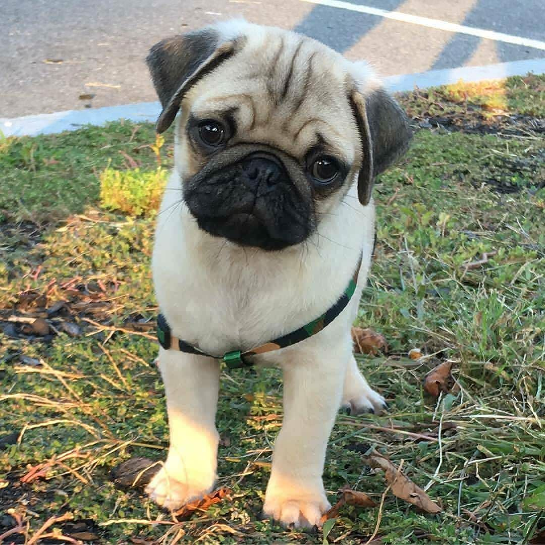 This Is Louie He Is Boston S Newest Puglet What A Cutie Like If