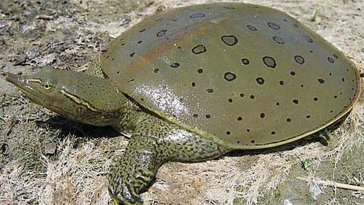 Spiney Softshell Turtle
