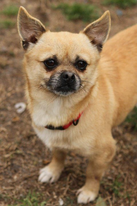 Togo Adopted Is A 1 Year Old Pug Chi Mix From South Carolina