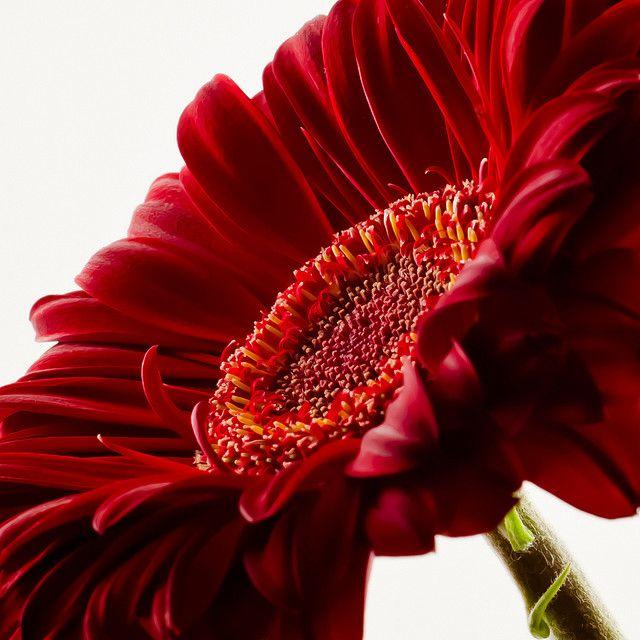 Deep Red Gerbera Daisy Ii Gerbera Daisy Gerbera Red Flowers