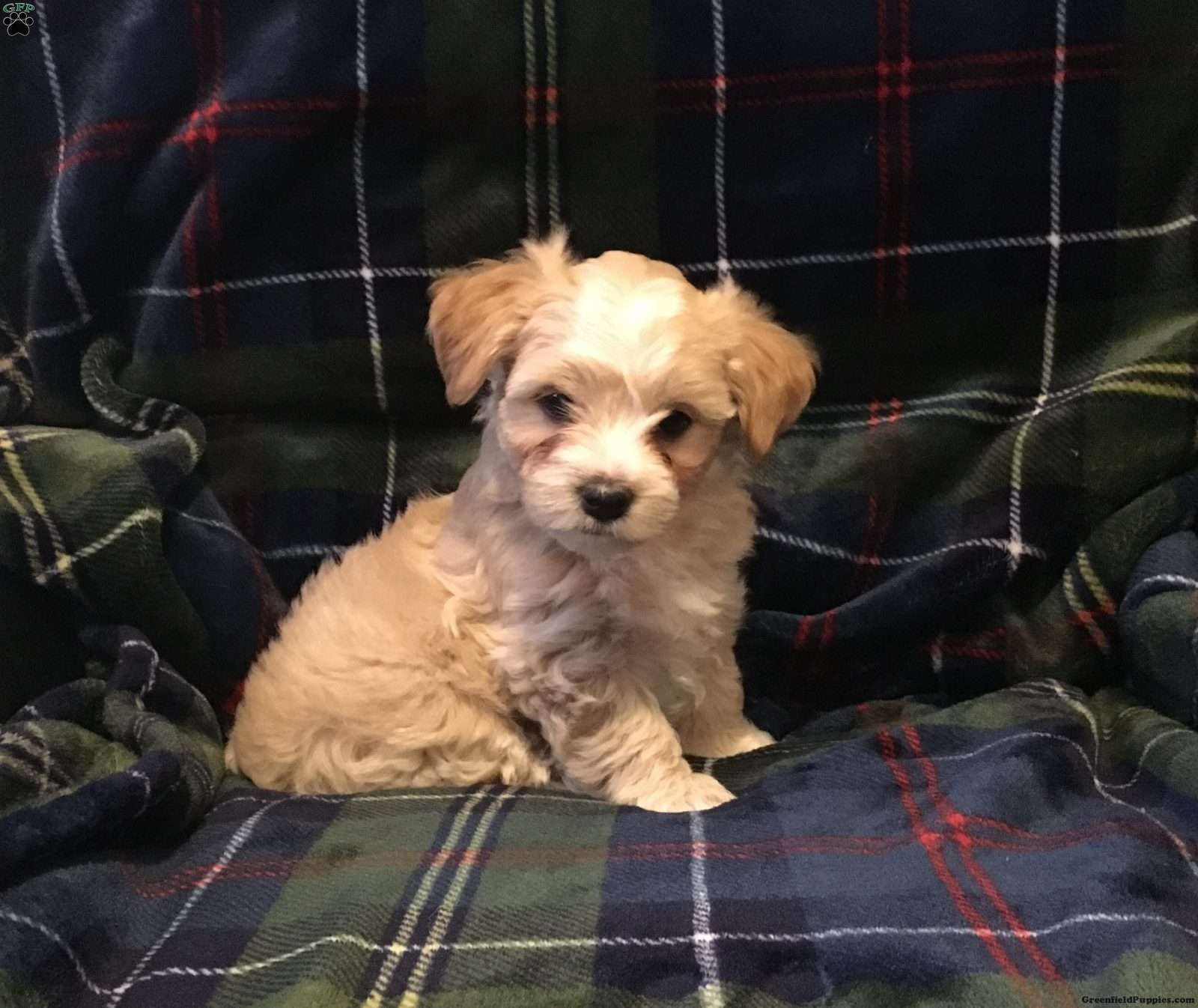 Tucker Morkie Yorktese Puppy For Sale In New Jersey Puppies