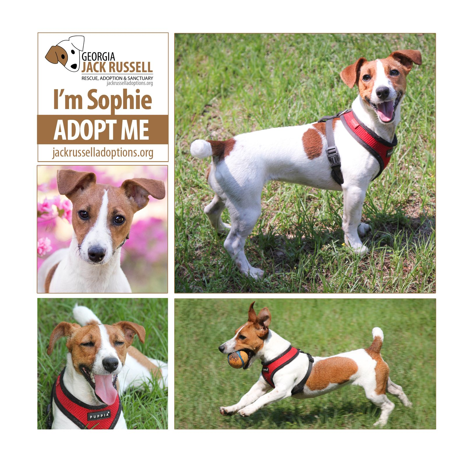Jackrussell Fans Involved In Racing Agility Or Flyball Sophie Girl Has It All Adoptterrier Jack Russell Jack Russell Terrier Cute Dogs