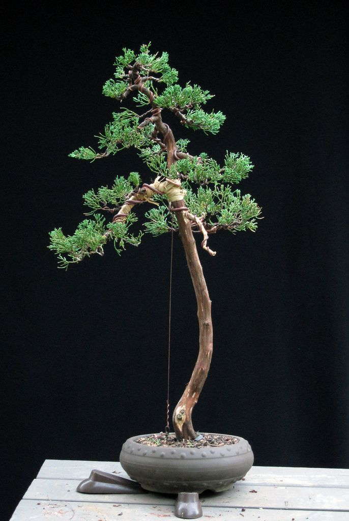 juniper lm after with back branch pinterest bonsai and juniper rh pinterest com Japanese Bonsai Trees Bonsai Wiring Techniques