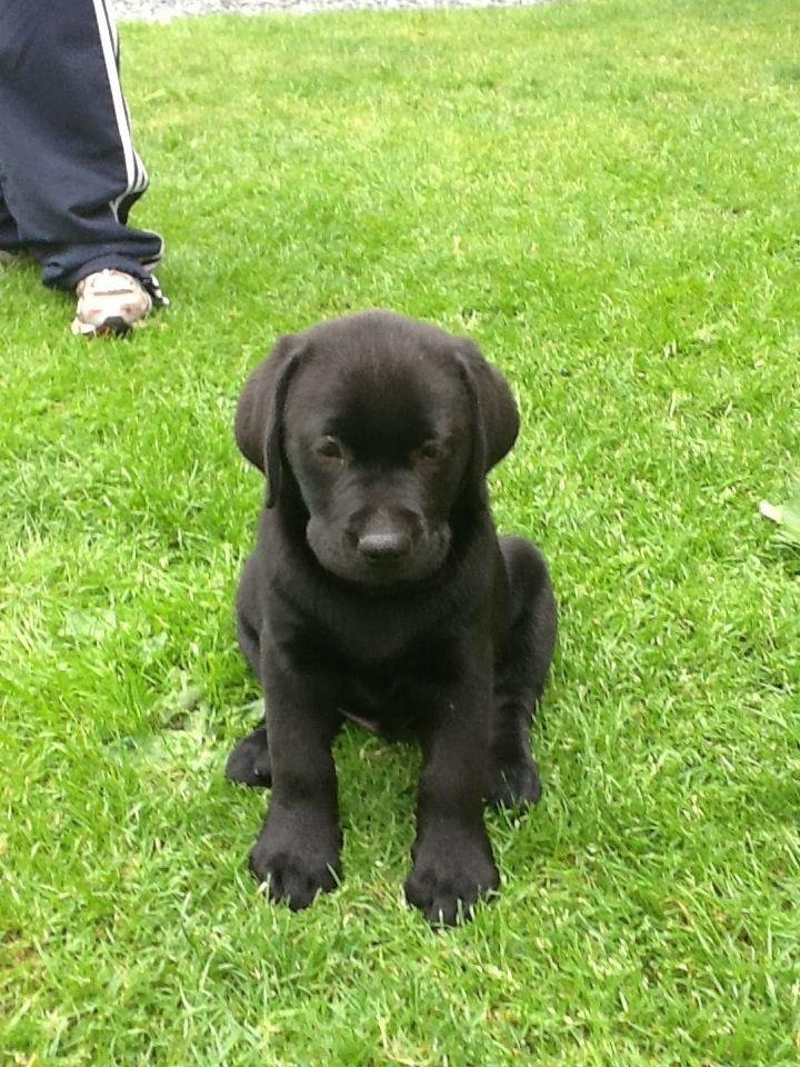 Black Lab Hound Mix Puppy I Will Get One Someday Lab Mix