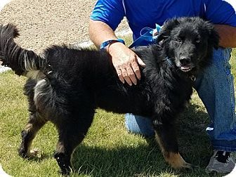 Denver Co Australian Shepherd German Shepherd Dog Mix Meet