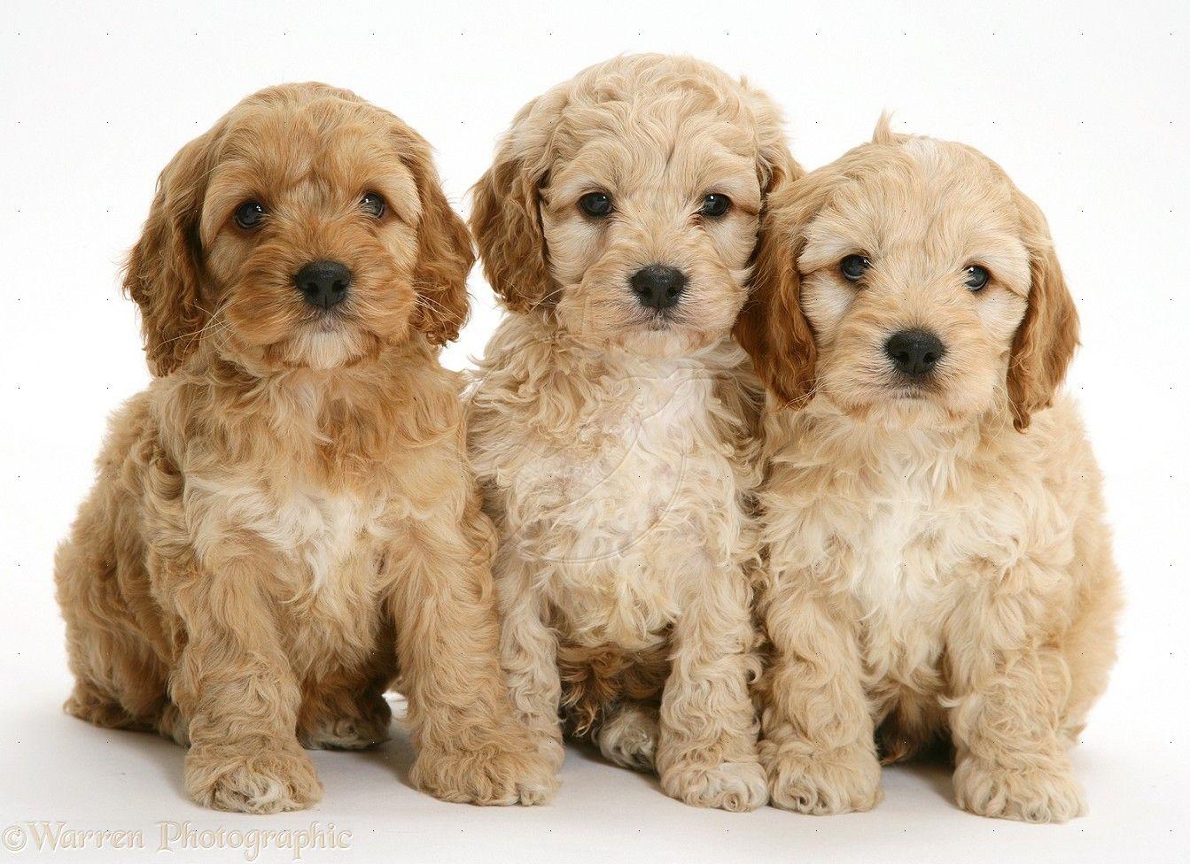 Medium Mini Petite Goldendoodle Puppies For Sale In Iowa