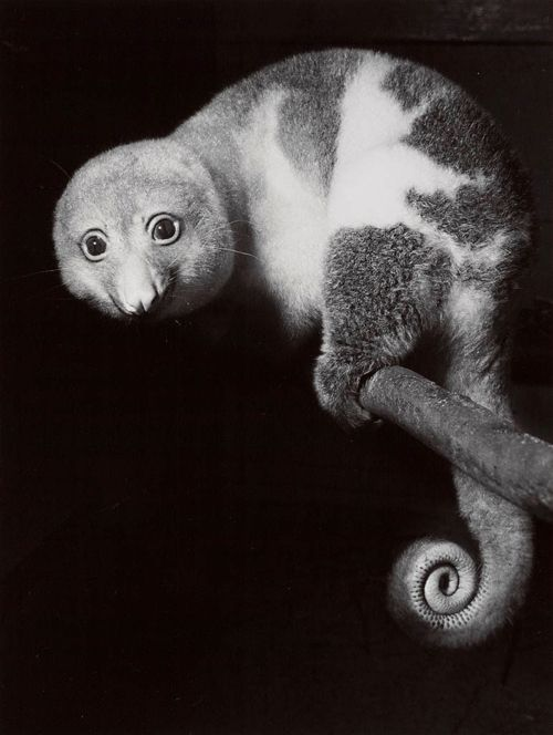 A shy Spotted Cuscus (a type of Possum), Taronga Park, Sydney, ca. 1954. Photo by Axel Poignant. S)