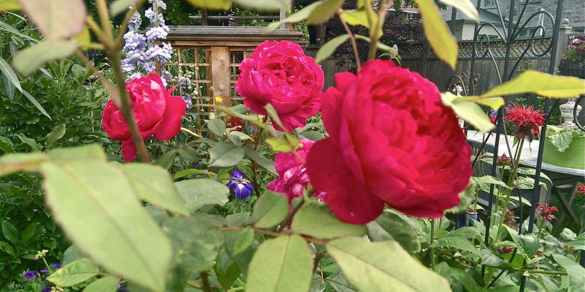 Les rosiers rustiques du Québec adaptés à notre climat