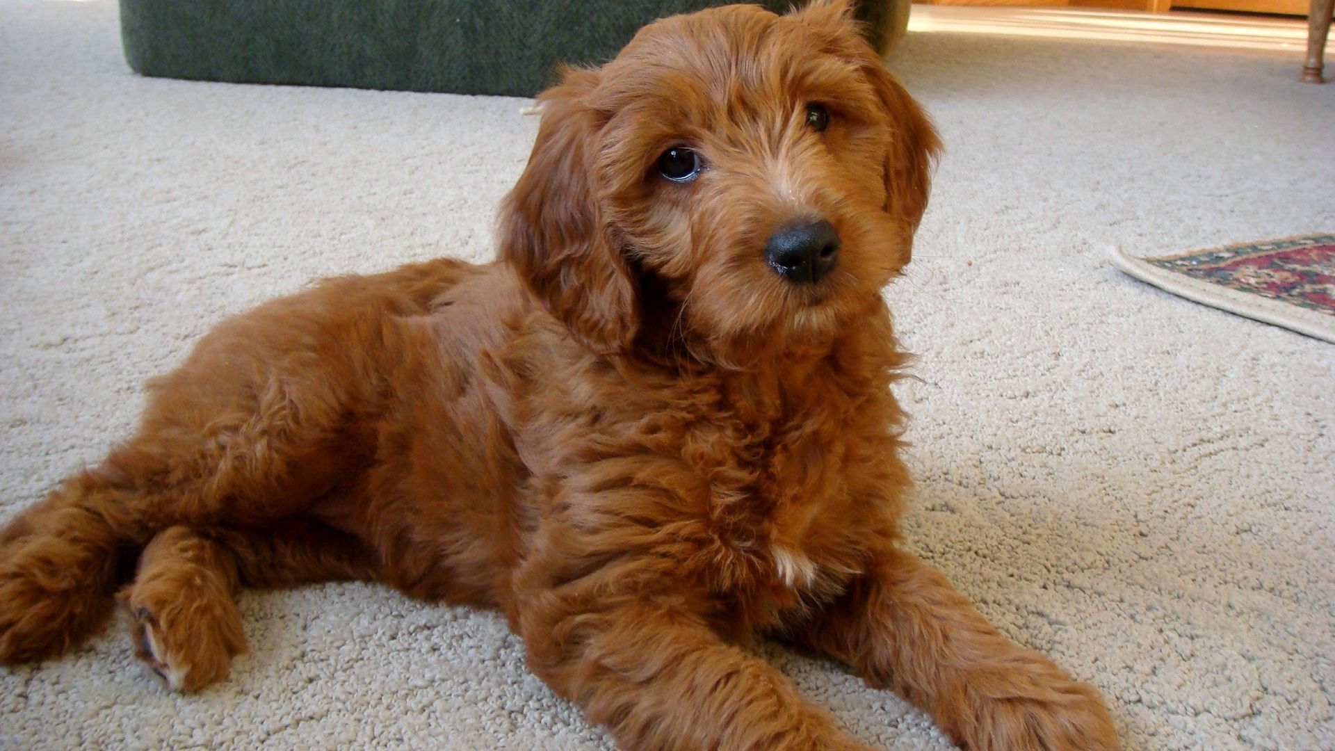 Goldendoodle Golden Retriever Poodle Mix Golden Doodle Hund