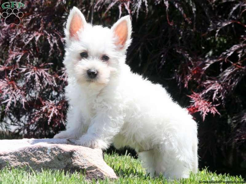 Logan Westie Puppy For Sale From Millersburg Pa Westie Puppies For Sale Westie Dogs Westies