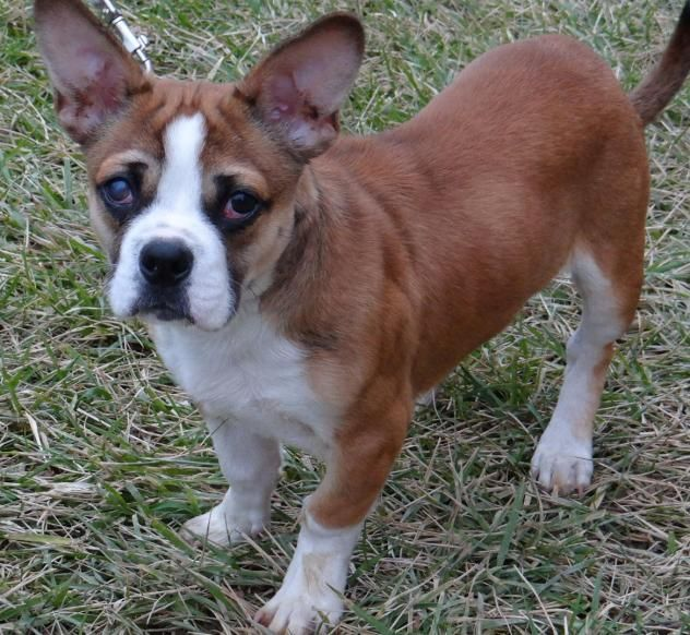 Corgi French Bulldog Mix Named Mikey Oh My Gosh D Puppy Corgi