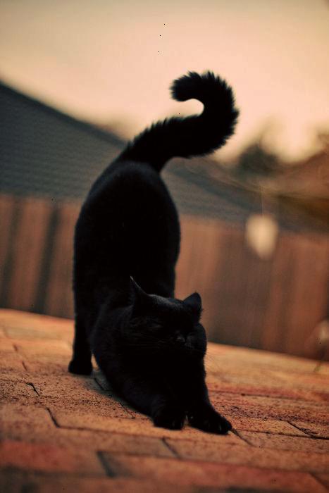 Ahh... Black Cats For Sale Melbourne super Black cat